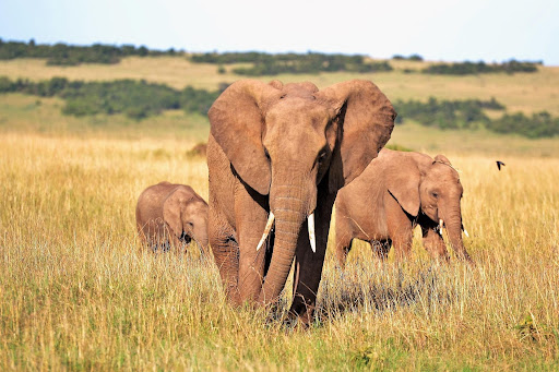 three Elephants in Africa tourism